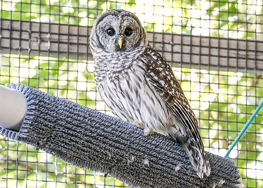 A barred owl sits in a Nature's Nursery pen in Whitehouse. The center has seen 20 birds of prey in the last month.