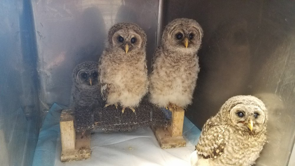 Four of the 15 baby screech owls rehabilitating at Nature's Nursery