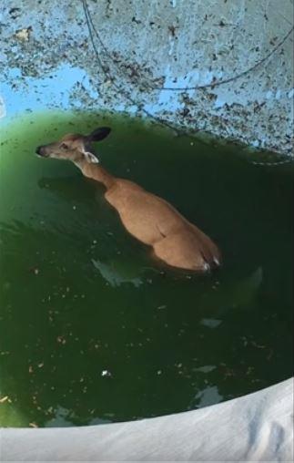 Deer_in_pool2018.JPG