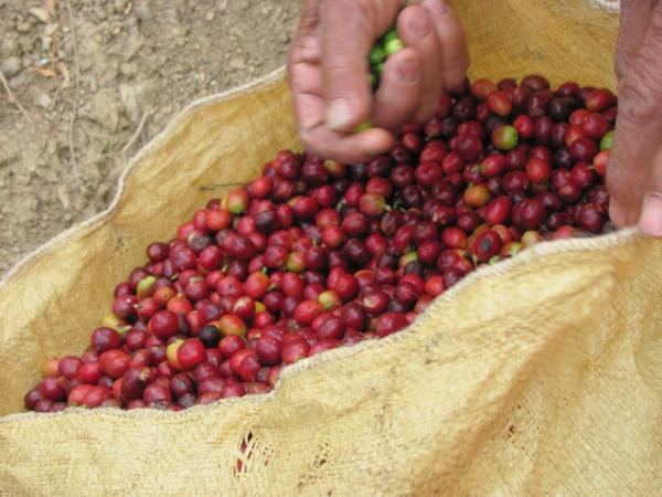 fresh coffee fruit.jpg