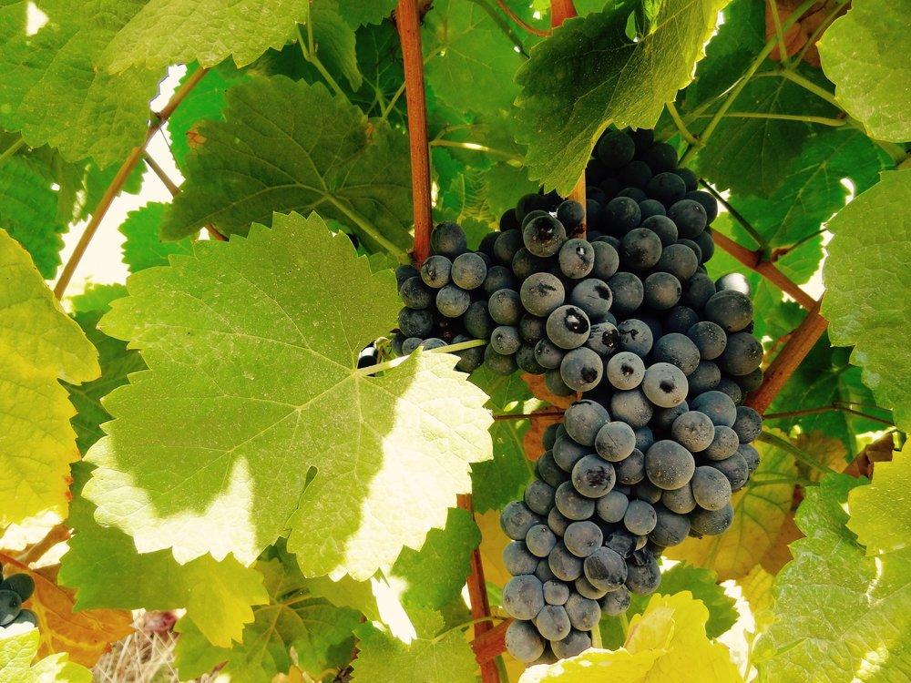 winery-grapes.jpg
