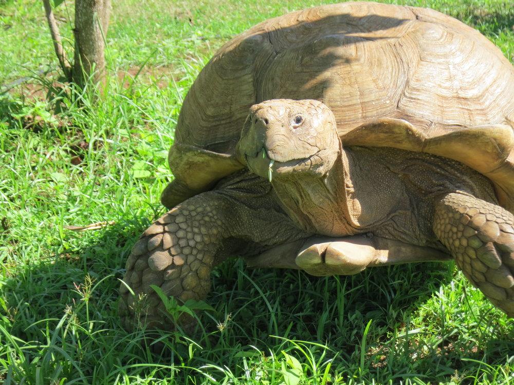 Mahauleupu Tortoise
