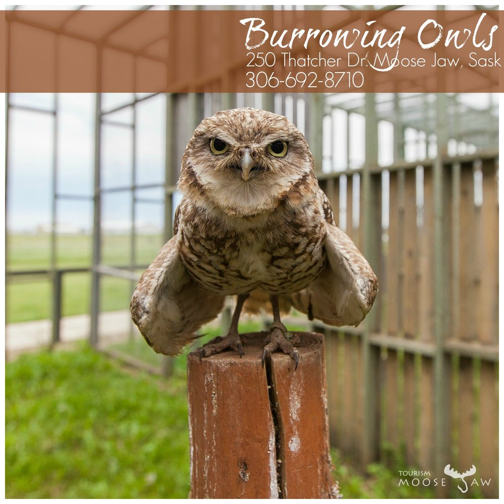 Burrowing Owls.jpg