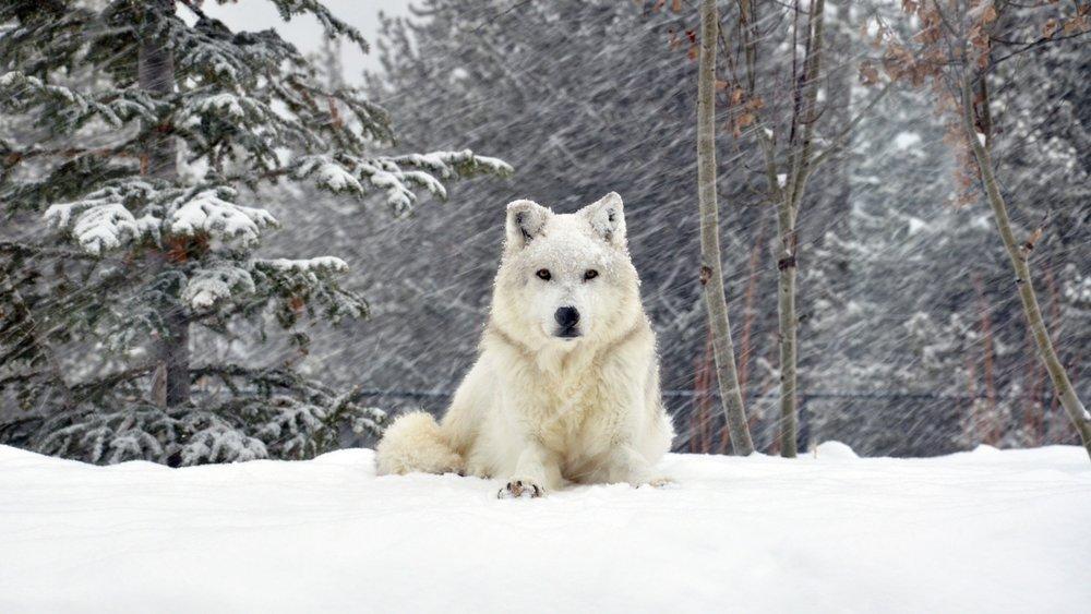 dog_wolf_forest_snow_lying_72361_1920x1080.jpg
