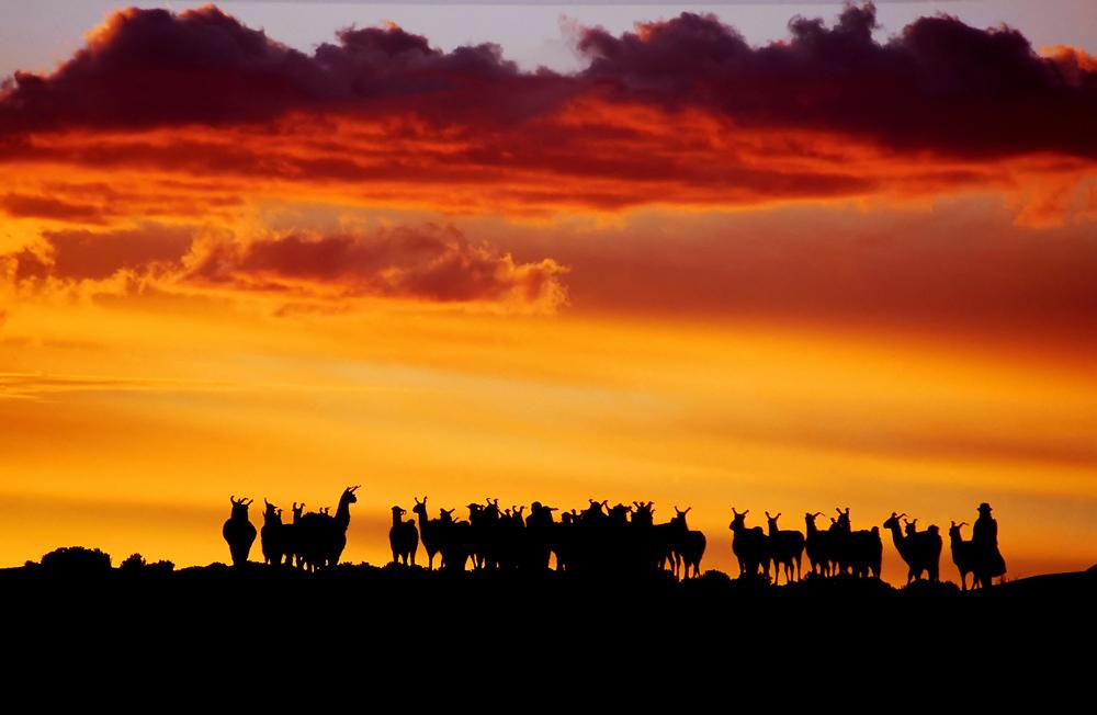 Sunset Llamas.jpg