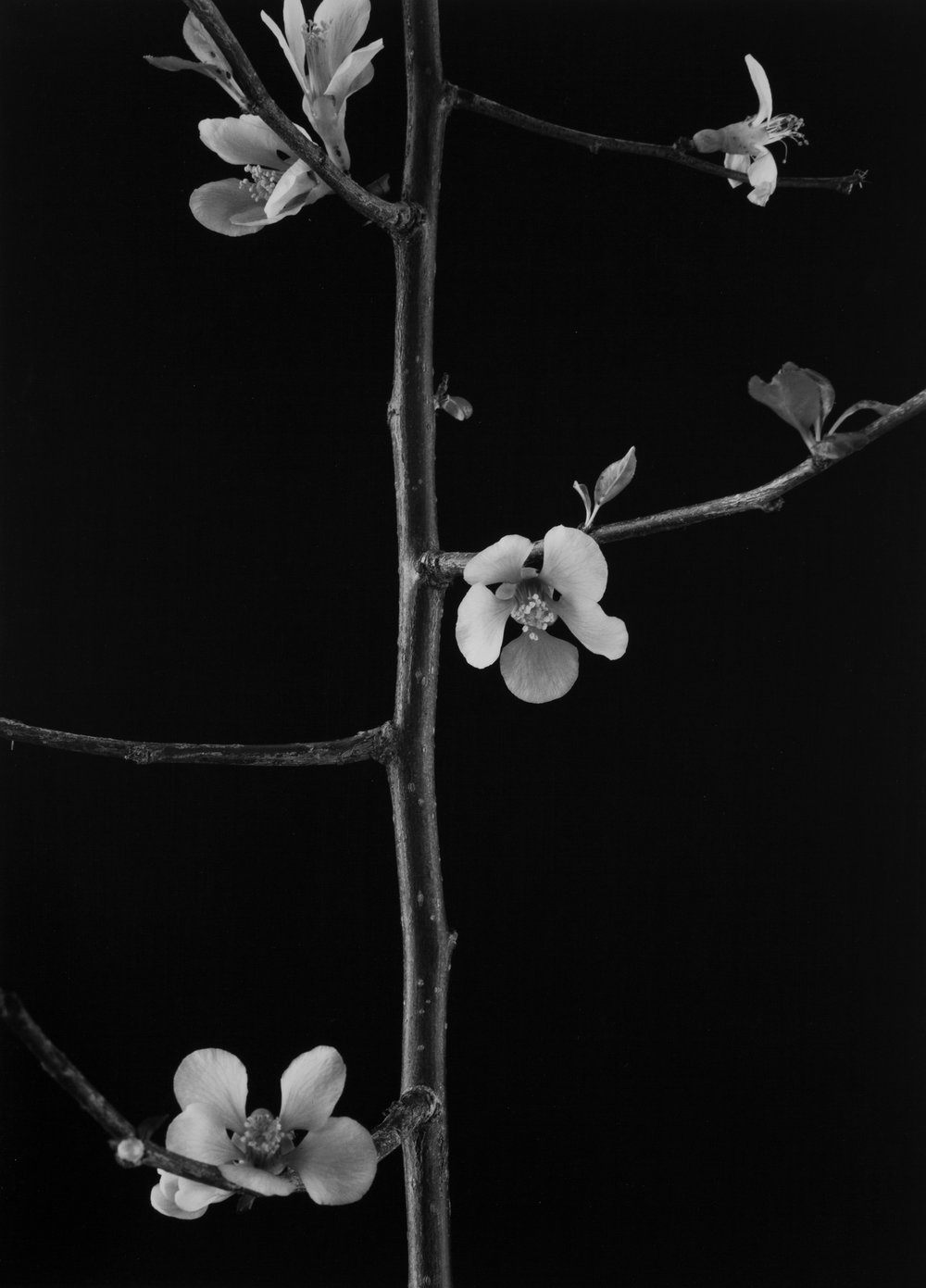 Pear Branch, Phoenix, AZ, 2012.jpg