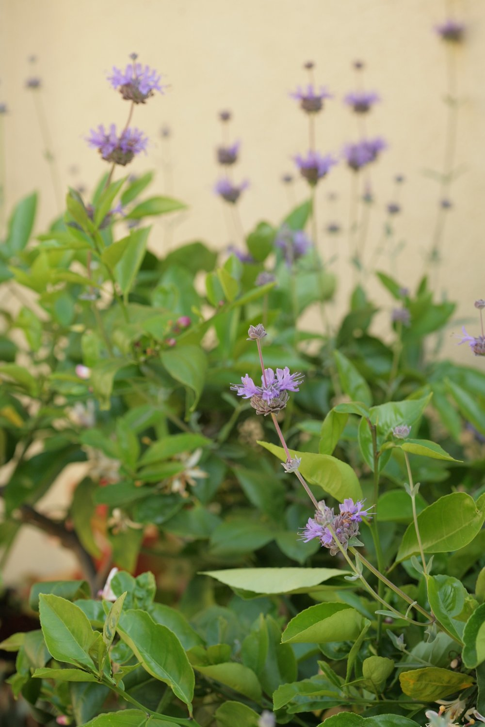 Native Salvia grows in garden beds amongst potted Citrus.