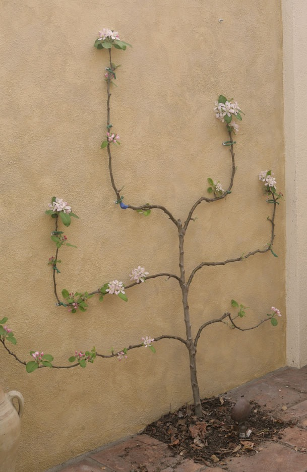 Young apple espalier against a courtyard wall.