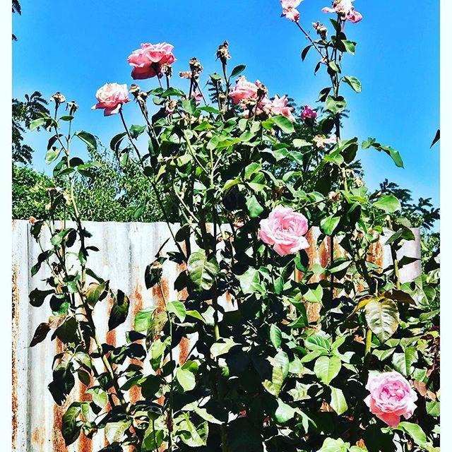 Merino Cafe Roses, Gunning NSW #blueskies
