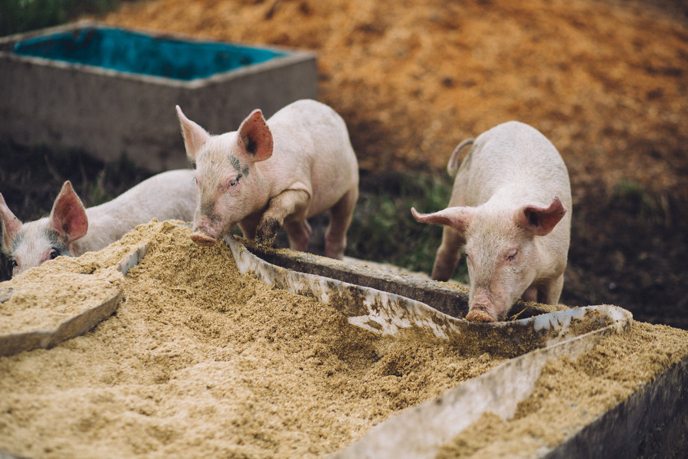 Title:   Young pigs foraging for food at Amber Creek Farm , Fish Creek, 2016.  Source:  Museums Victoria  Photographer:  Catherine Forge