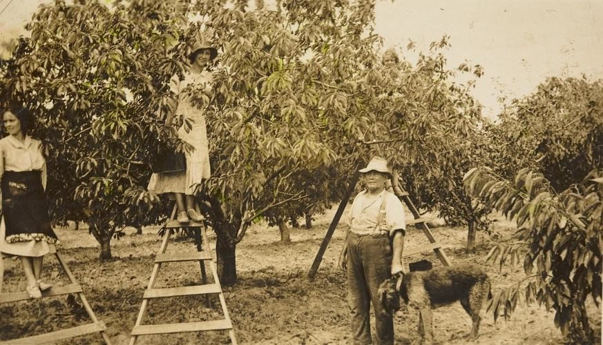 [Photograph 2]: Original keywords used to catalogue the photo; none. Image attribution: Two women and a man working in a cherry orchard, Blackburn, 1938, Source: Museums Victoria courtesy of Ann M. Kriegler, MM110823, Photographer: Unknown