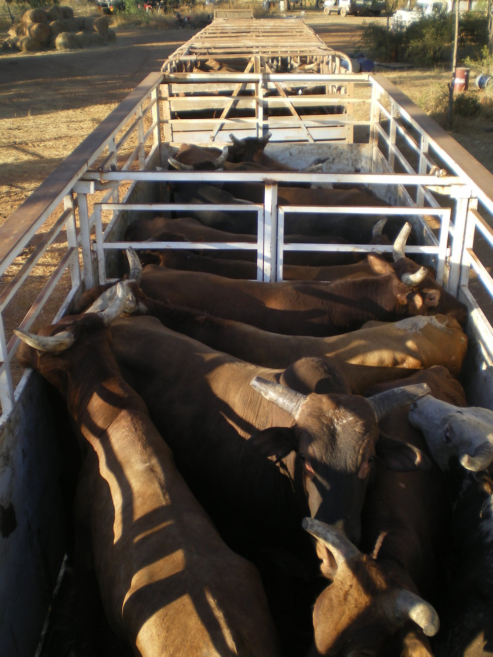 A truck load of bulls caught at Lorella Springs, image courtesy Lisa Shannon.