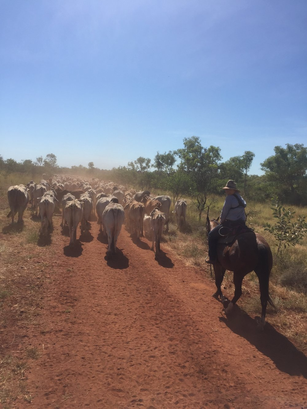 Mustering at Inverway Station, Northern Territory, image supplied by Laura Lewis.