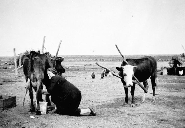 Eloise Vinen hand milking cows at Channel Farm, Nyah West, near Swan Hill, 1924. Source: Museums Victoria:  https://collections.museumvictoria.com.au/items/773890