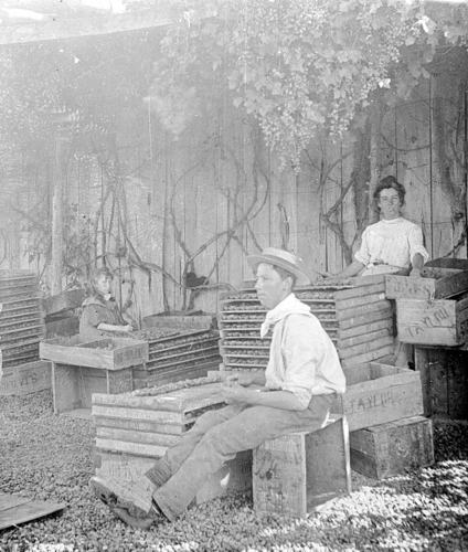 A woman and man sorting and packing fruit in Mildura, circa 1905. Source: Museums Victoria:  https://collections.museumvictoria.com.au/items/771247