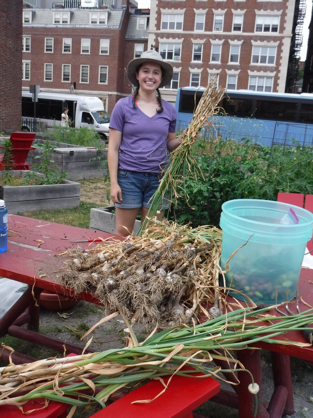 Rory at her summer urban farming internship at Harvard University in Cambridge, Massachusetts, harvesting garlic.