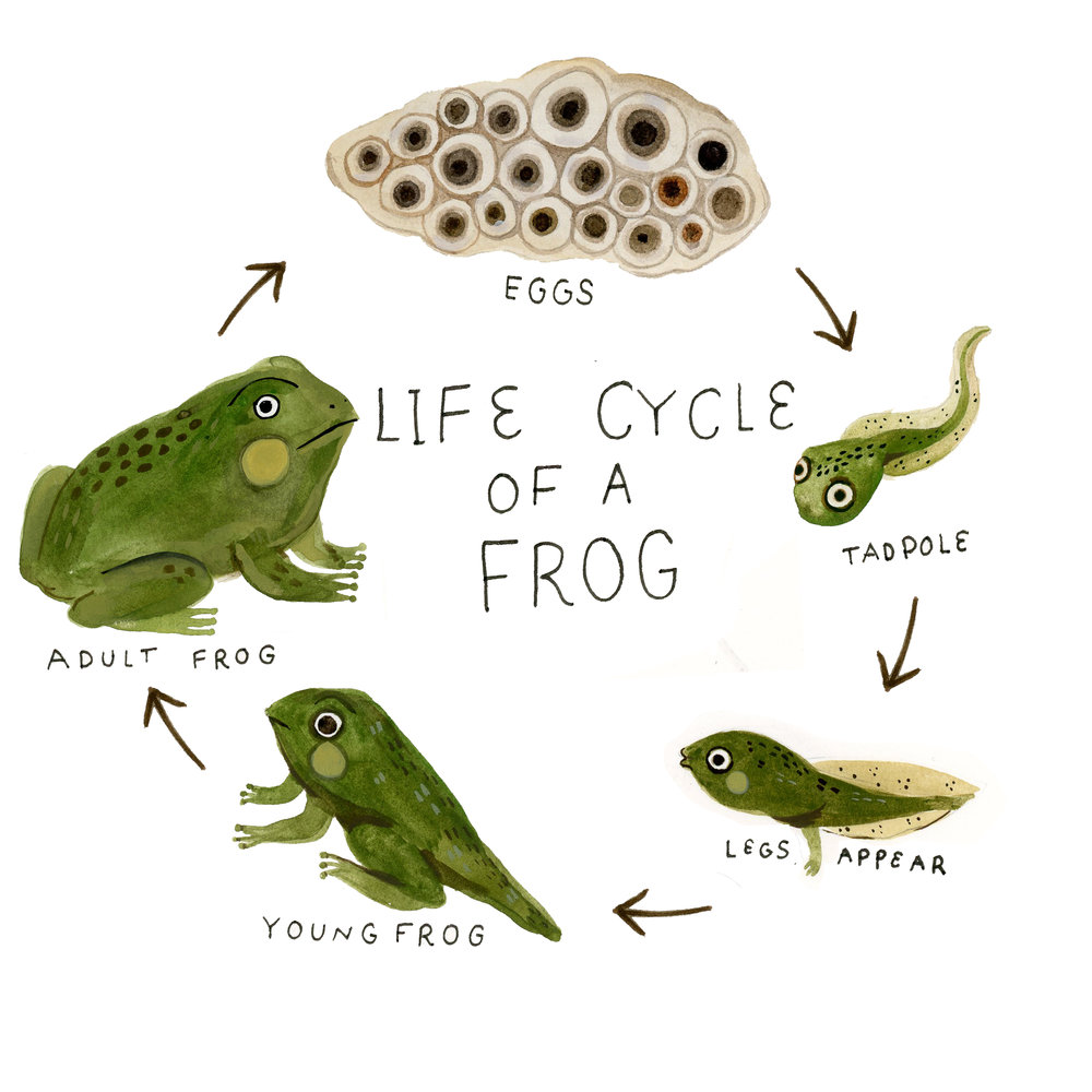 froglifecycle.jpg
