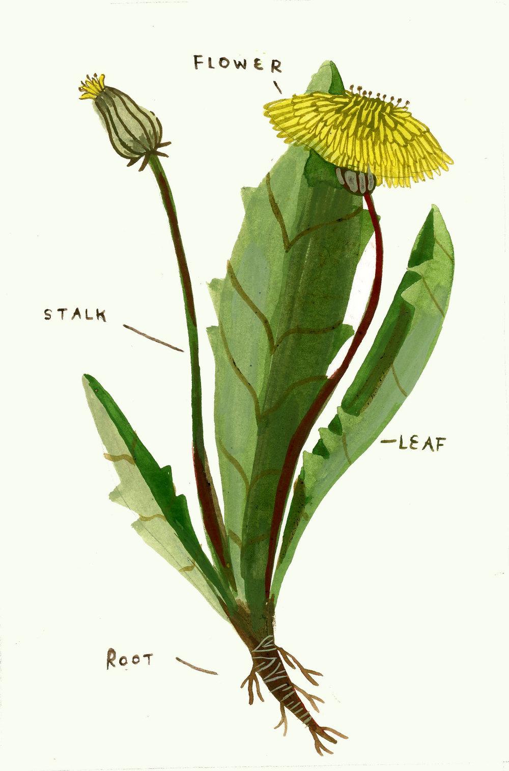 dandeliondiagram.jpg