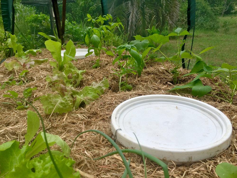 Worm Farm Barrels — Green Man Garden Project