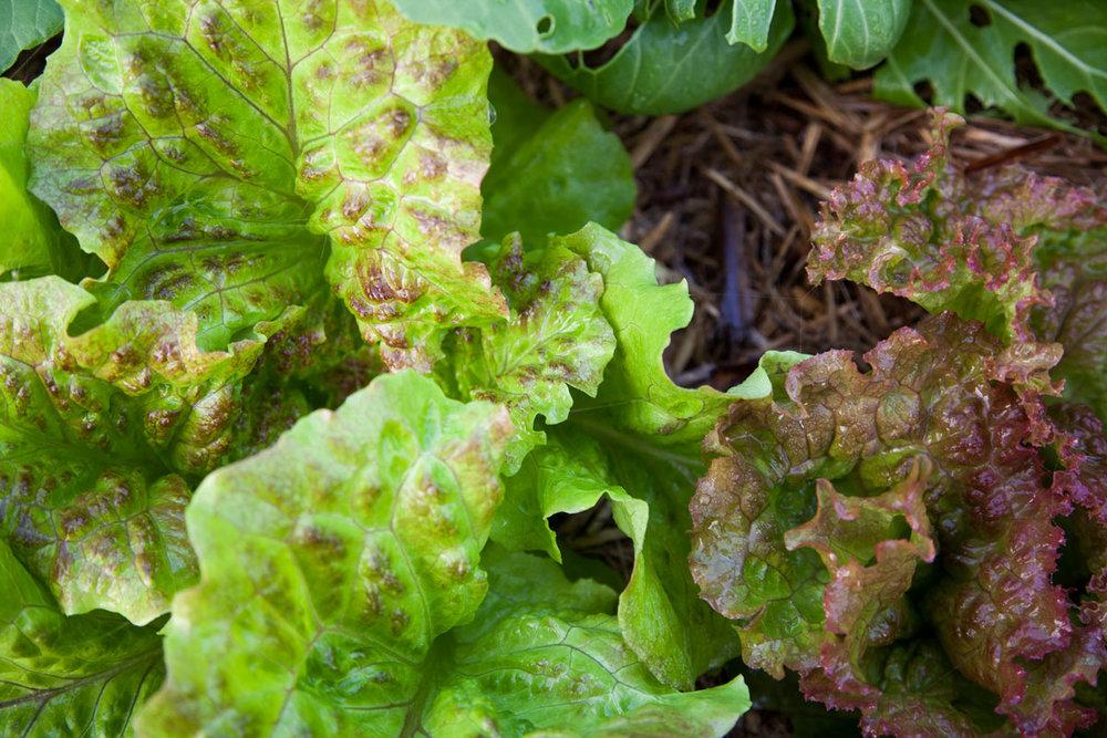 IMG_2818-Lettuce.jpg