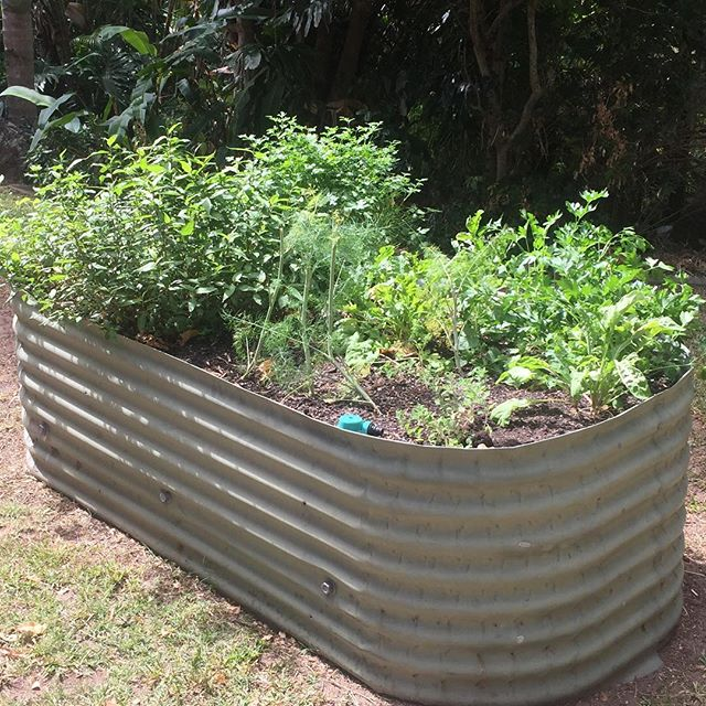 An organic Wombat Garden @ 1 year old. Growing in this garden mint, parsley and dill. Mix in a wheel barrow of organic compost every 3 to 4 months and water weekly with worm tea for a garden of abundance.