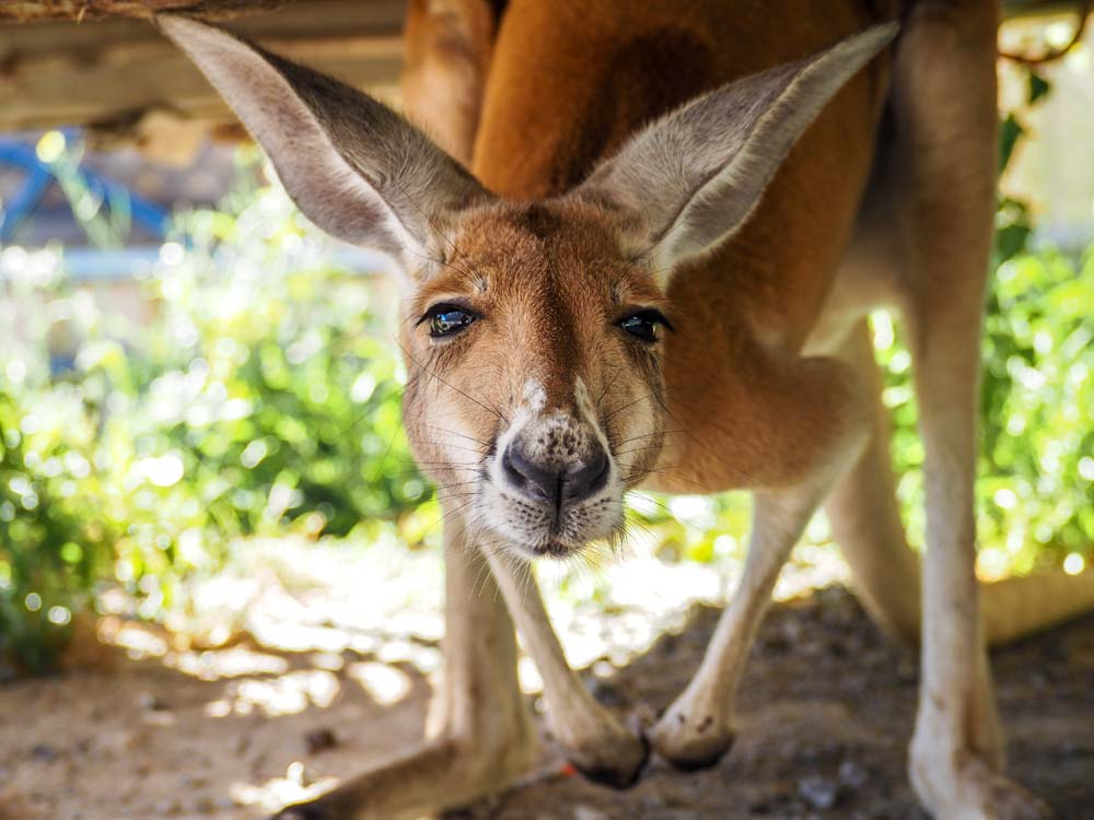 Gracie  - 2 year old Red Kangaroo girl  New to #TwoSongsSanctuary and is already fitting in nicely, such a beautiful gentle girl.