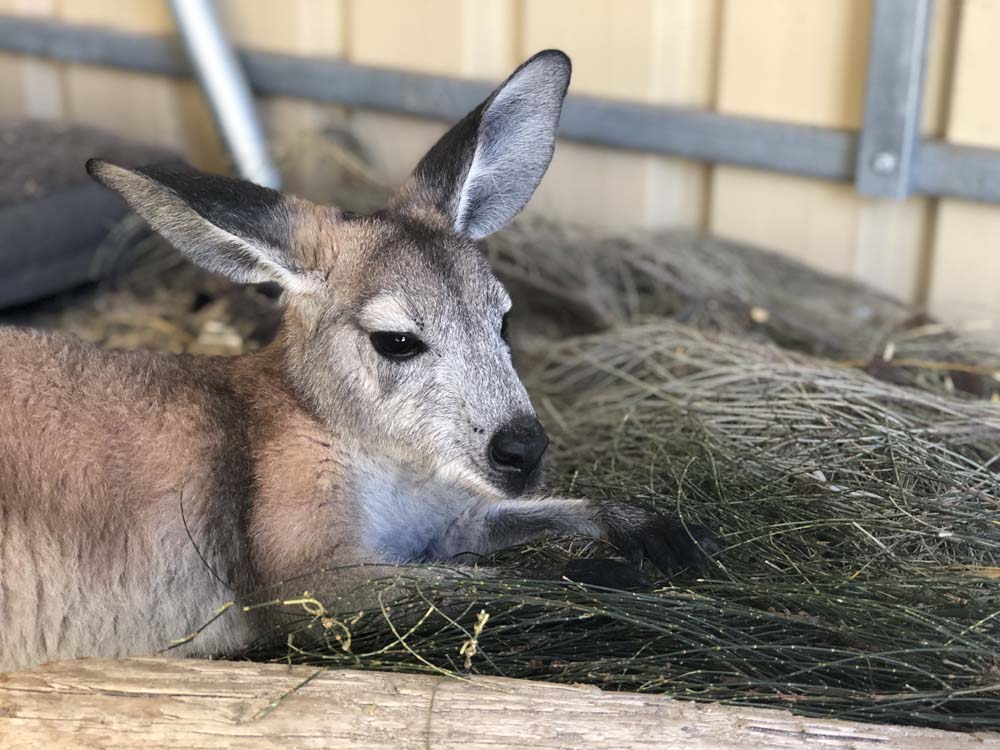 Bunji  - 1 year old Euro or Wallaroo, raised by Brinkley and Tyron, from Elliston area, has now been at #TwoSongs for 4 months. Bunji is a bit of an individual among the crowd, shes sassy, not as social, but very confident and independent, loves cuddles from humans she trusts, but not so much from other kangaroos. Loves Sheoak, and Almonds.