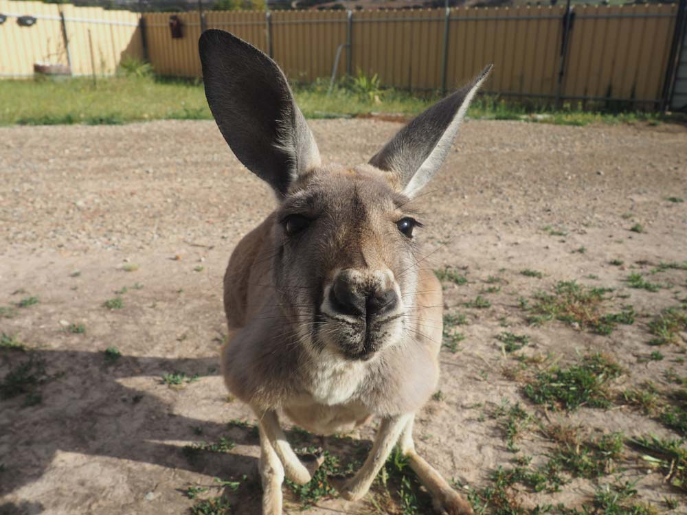 Malu  - 2 year old female Red Kangaroo, loves lazing in the sun and eating veggies!