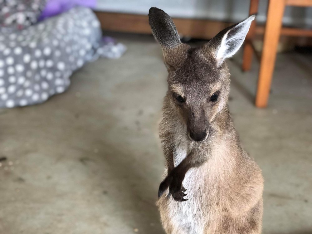 Yazzie   Rescued from a car accident on Eyre Peninsula, Yazzie is now at Two Songs. She is a little Western Grey Joey, and is adorable as ever.