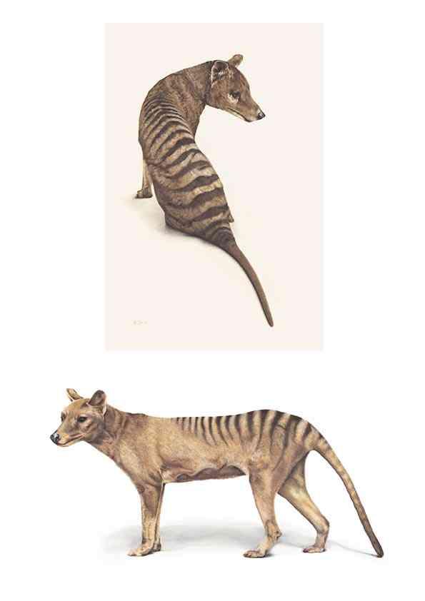 Fyona Storer thylacines.jpg