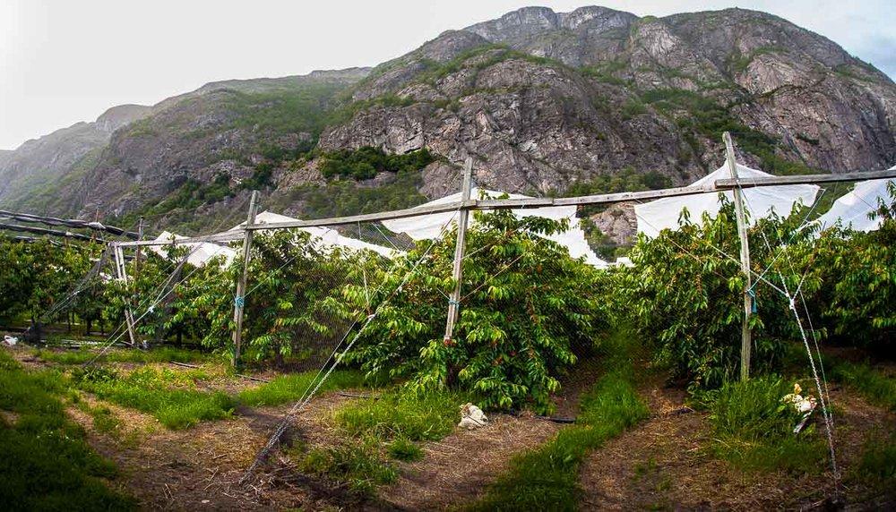 Lærdal er ein djup dal omringa av høge fjell. Dei høge fjella stenger ute regnet og fangar inne varmen. På den måten modnas morellene frå lærdal under lange lyse dagar som gir store, saftige og ekstra søte frukter.