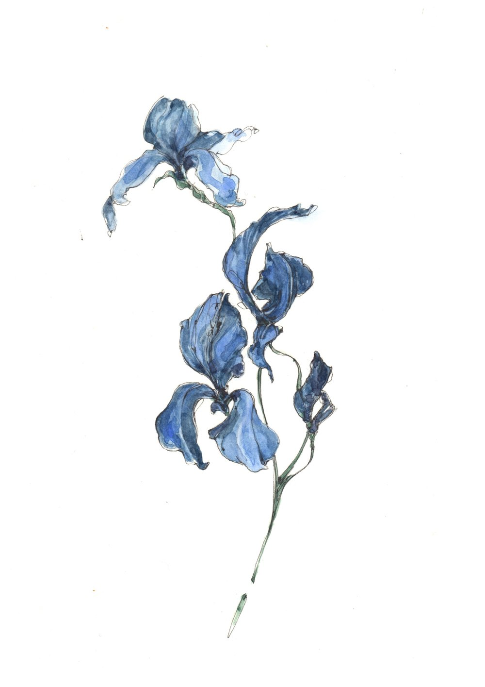 IRIS_BOTANICAL_DRAWING.jpg