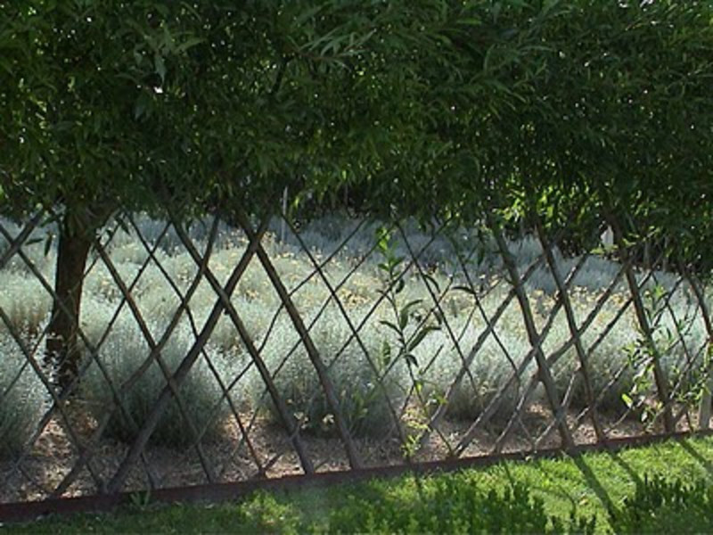 A living fence made of rooted willow cuttings