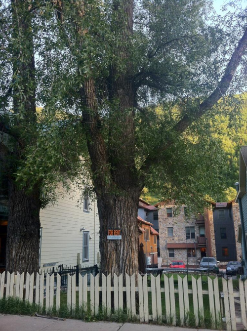 Due to unprecedented lodging shortages in Telluride, some folks have no other option than to rent a tree.