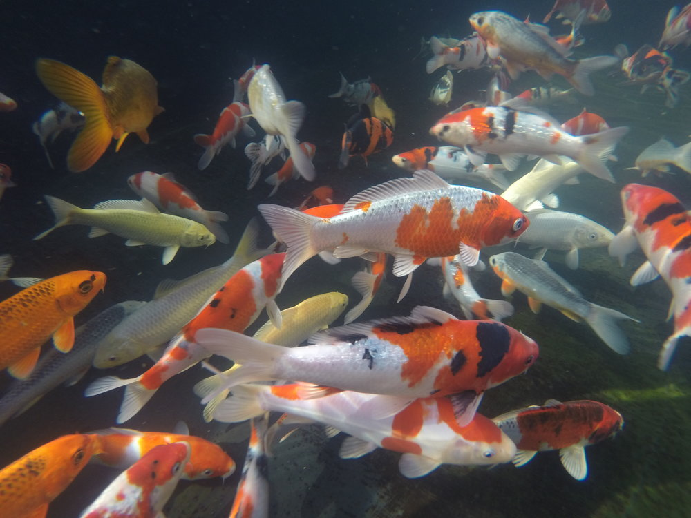 Koi largest pond and koi retail store on the west coast for Pond retailers