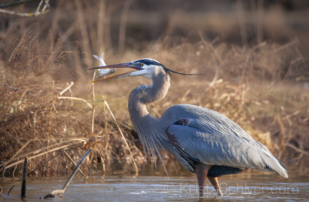 A great blue heron (Ardea herodias) catching a fish in the Anacostia Watershed, in Kennilworth Aquatic Gardens, Washington DC. USA February 2012. Cropped