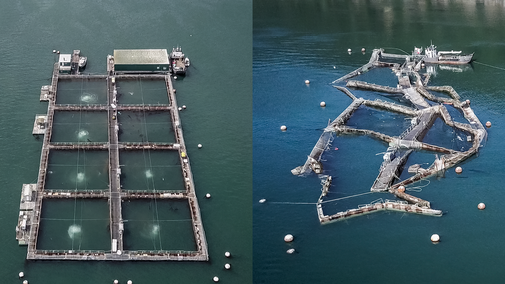 Left: An image of an operational Atlantic salmon net pen. Right: Cooke Aquaculture's Cypress Island net pen facility after the weekend of August 19th.