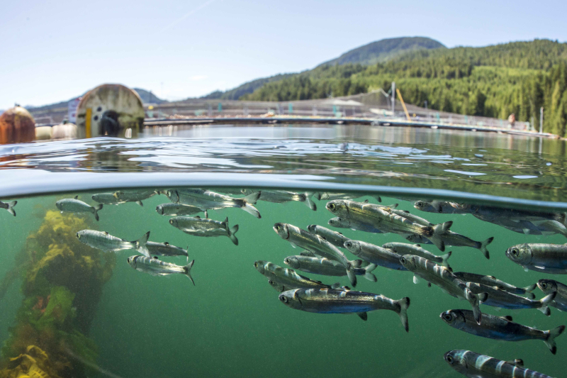 Juvenile salmon swim past an Atlantic salmon net pen in British Columbia. Photo provided by Alexandra Morton.