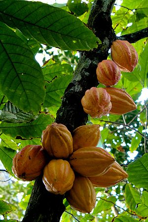 Our love's in jeopardy, Baby. (Cacao fruit)