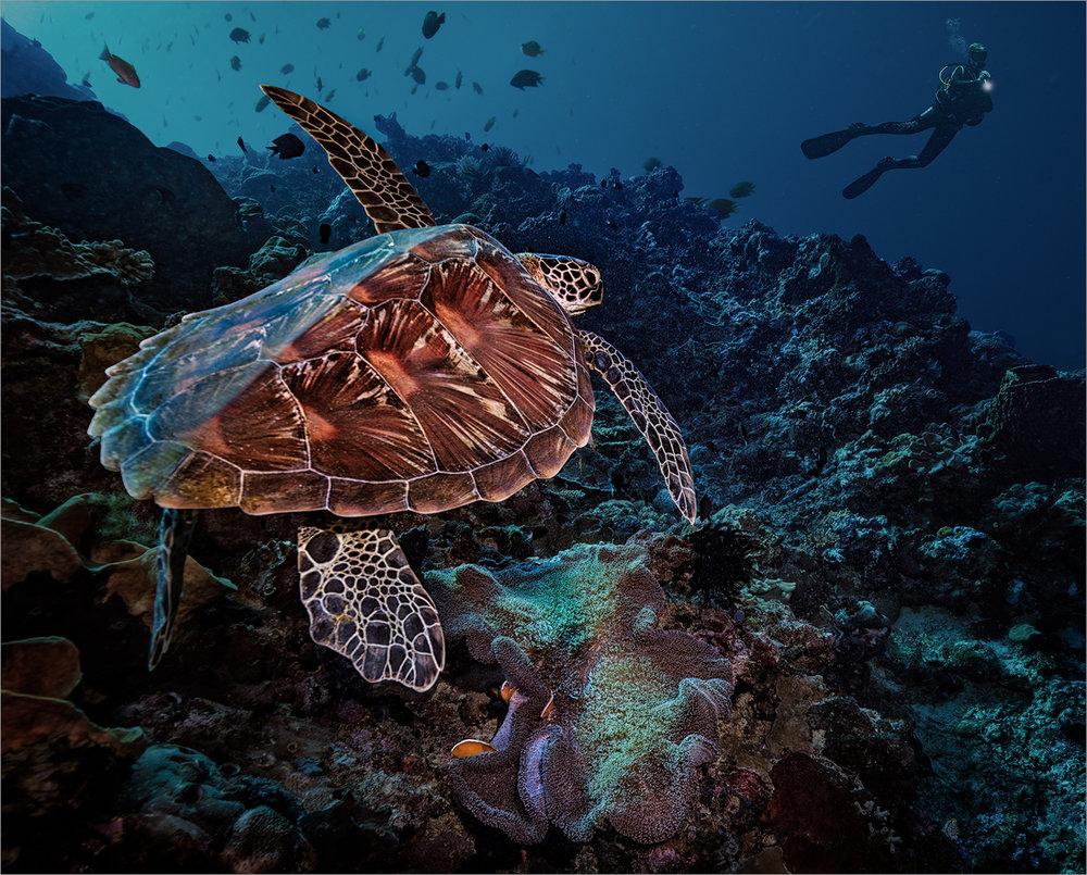 Loggerhead Turtle, Indonesia