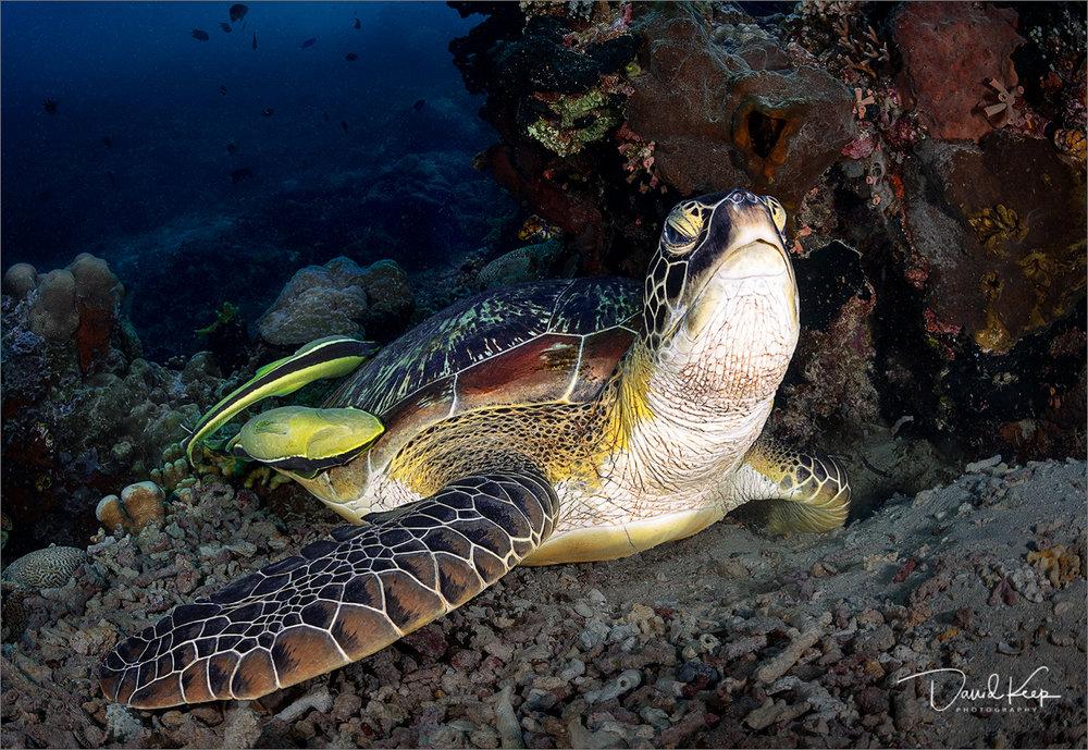 Green Turtle 2.JPG