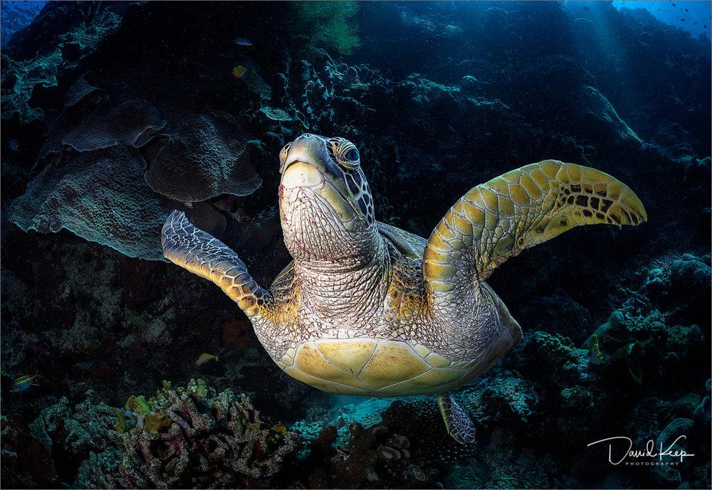 Green Turtle 1.JPG