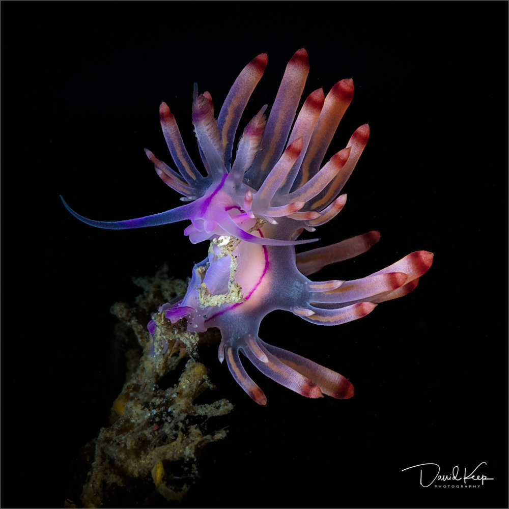 Nudibranch (12 of 13).JPG