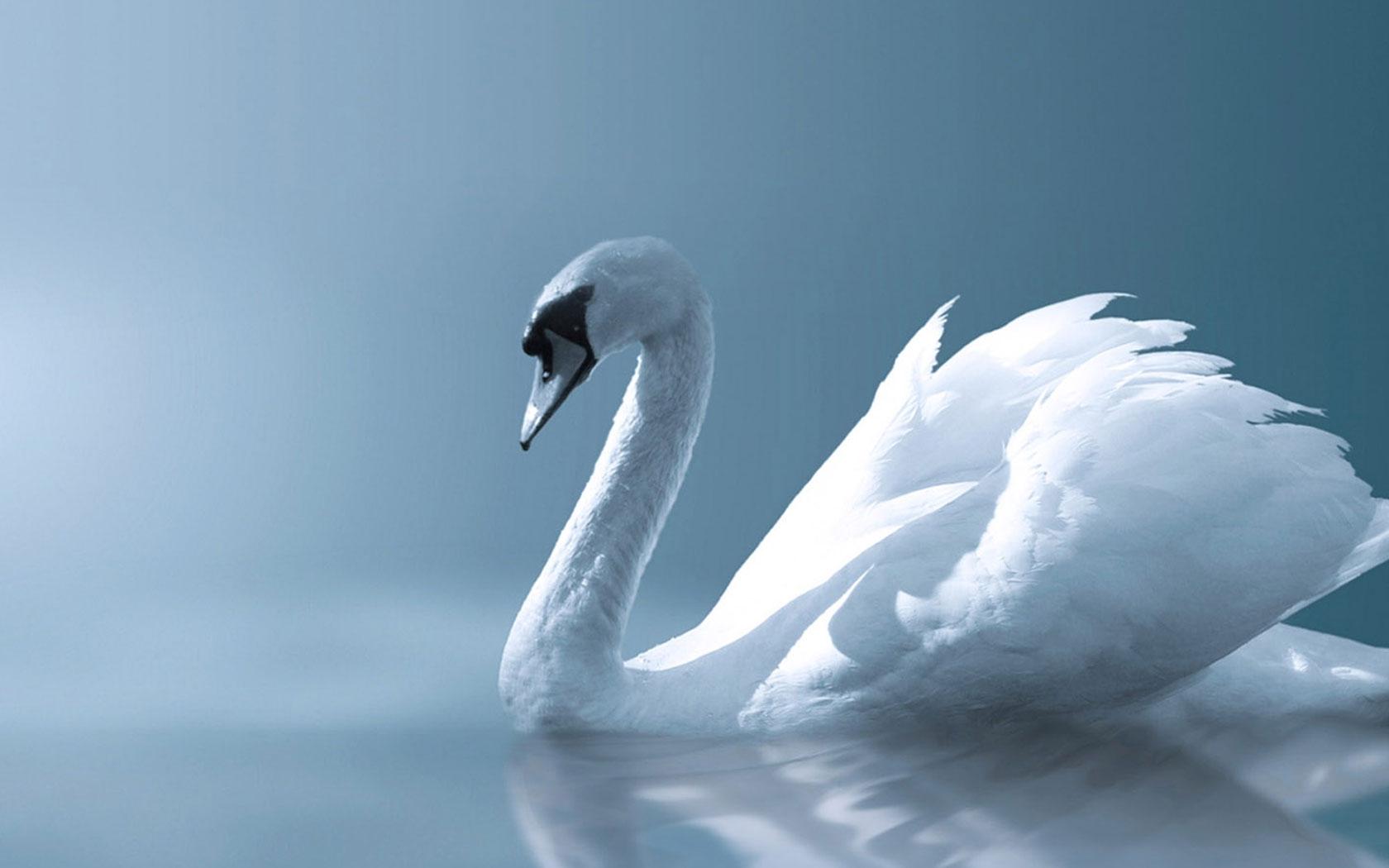 27 swans