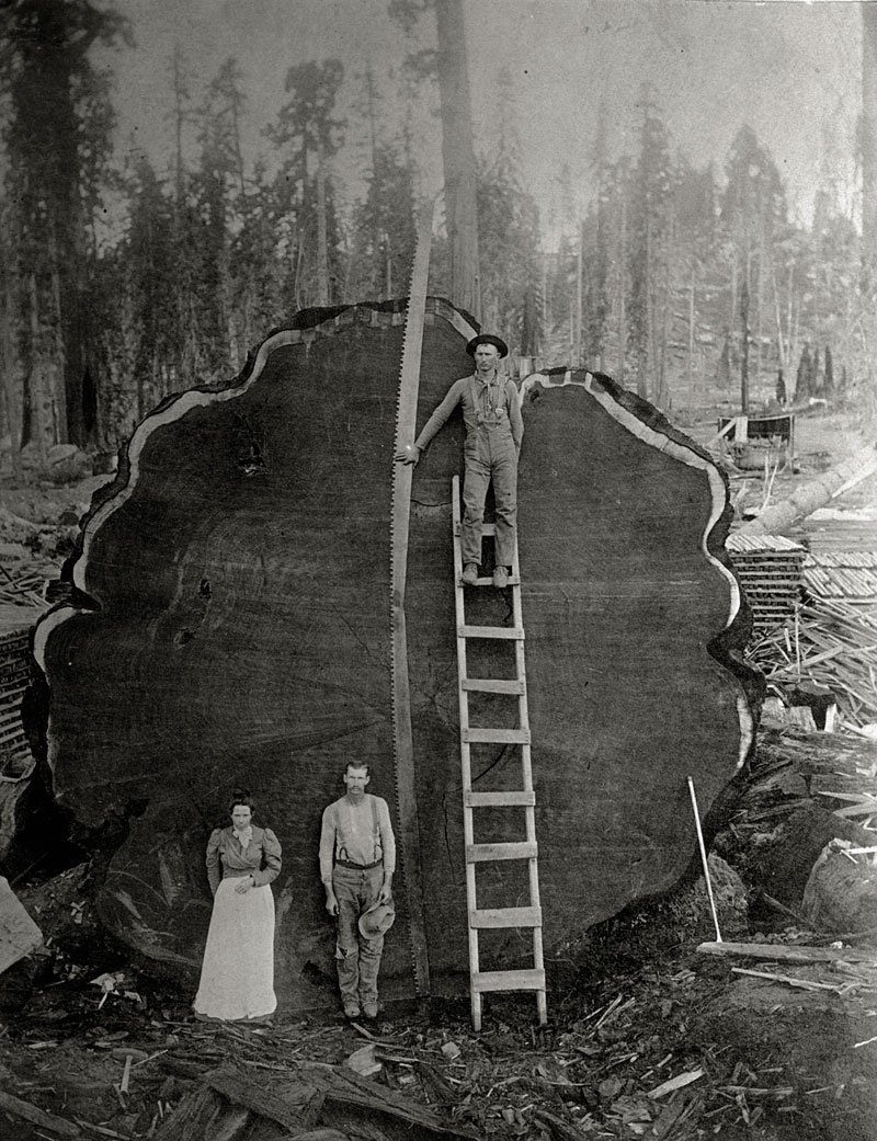 tree sawed