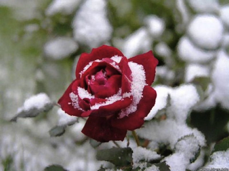 rose-in-snow1