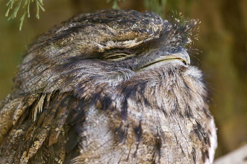9 Squinty Owl