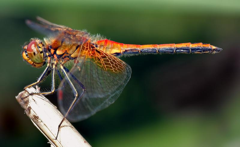27 Dragonfly