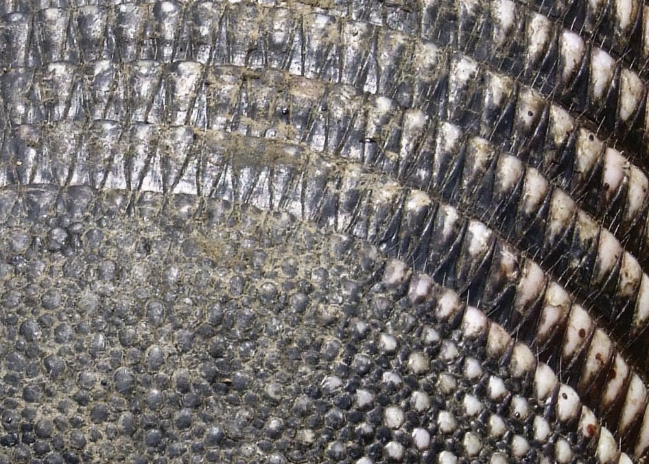 Armadillo Scales by Baq_stock