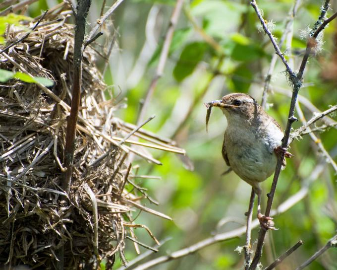 marsh-wren-bird-brings-food-to-the-nest-cistothorus-palustris-680x544 (1)
